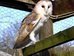 Owls In Barn Owl Trust Sanctuary 19