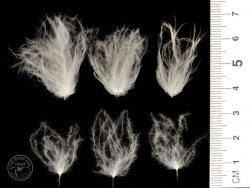 Adult Barn Owl Feathers and nestling fluff