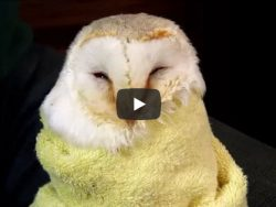 Starving Owl Care Video