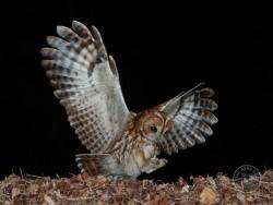 Tawny Owl hunting [Stephen Powles]