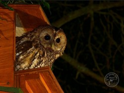Tawny Owl at entrance to nestbox [Kevin Keatley]